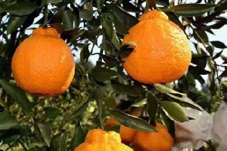 丑橘的功效与作用(托哥告诉你).jpg